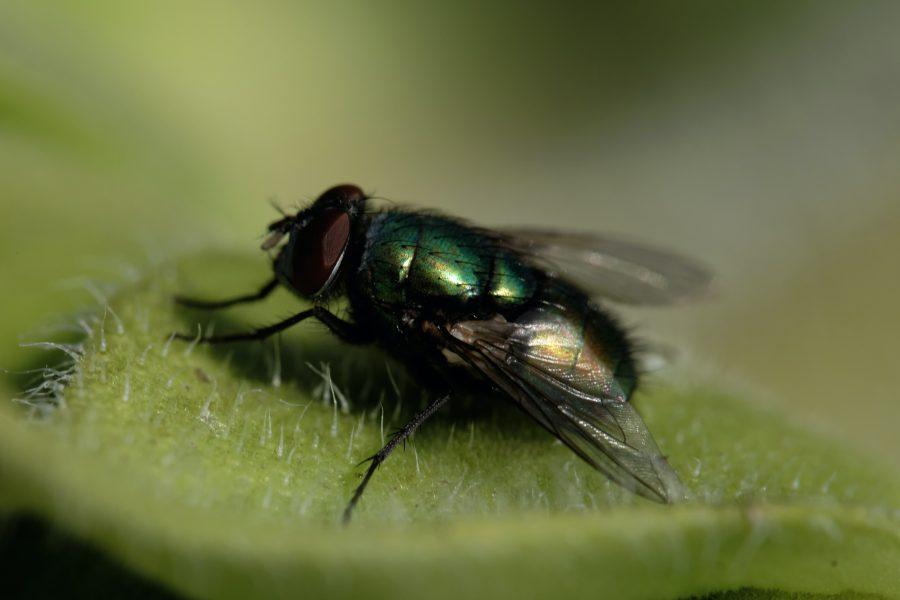 Vliegen en fruitvliegjes